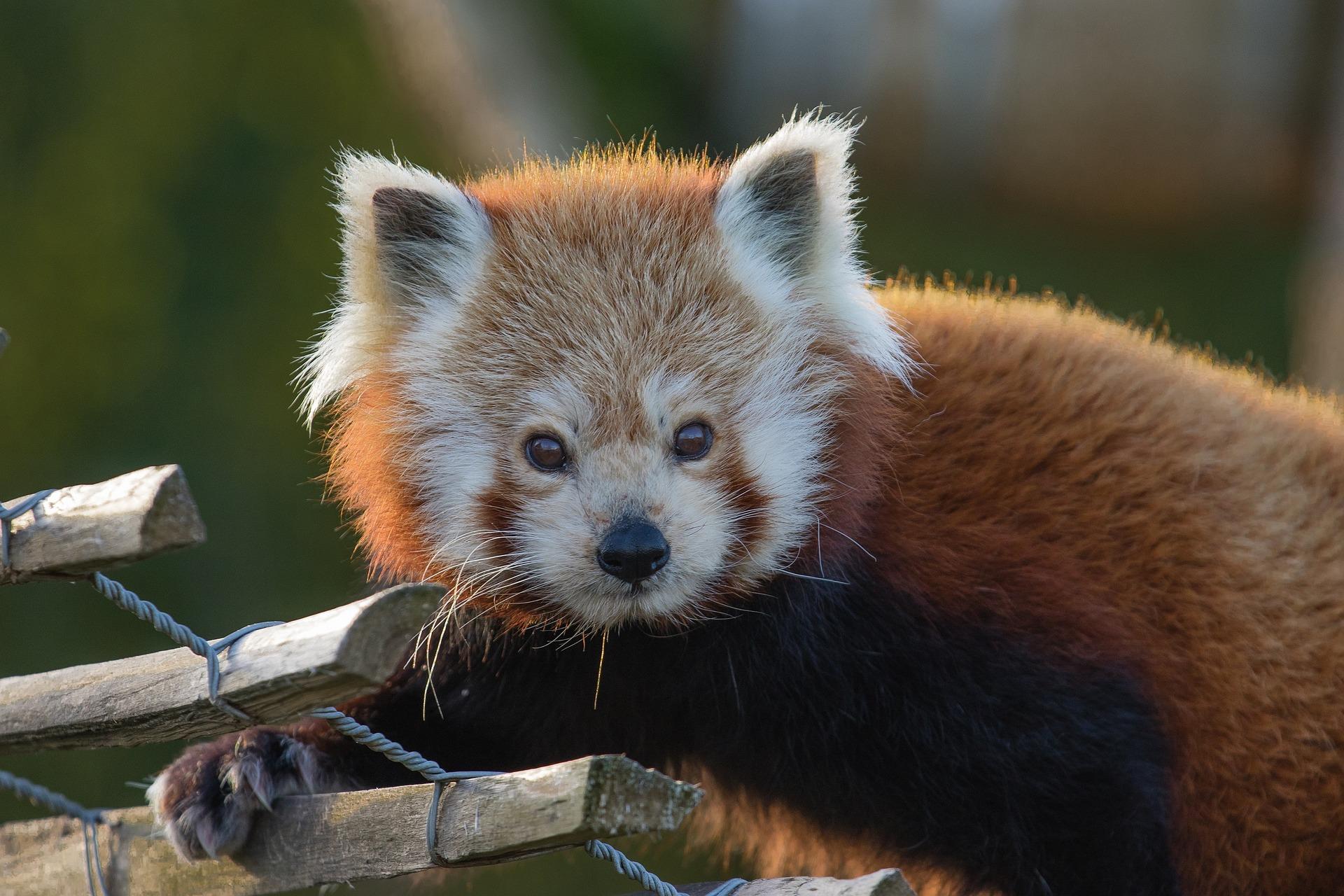 Красная панда, лицо, Смотреть, тендер, Дикая жизнь - Обои - Профессор falken.com