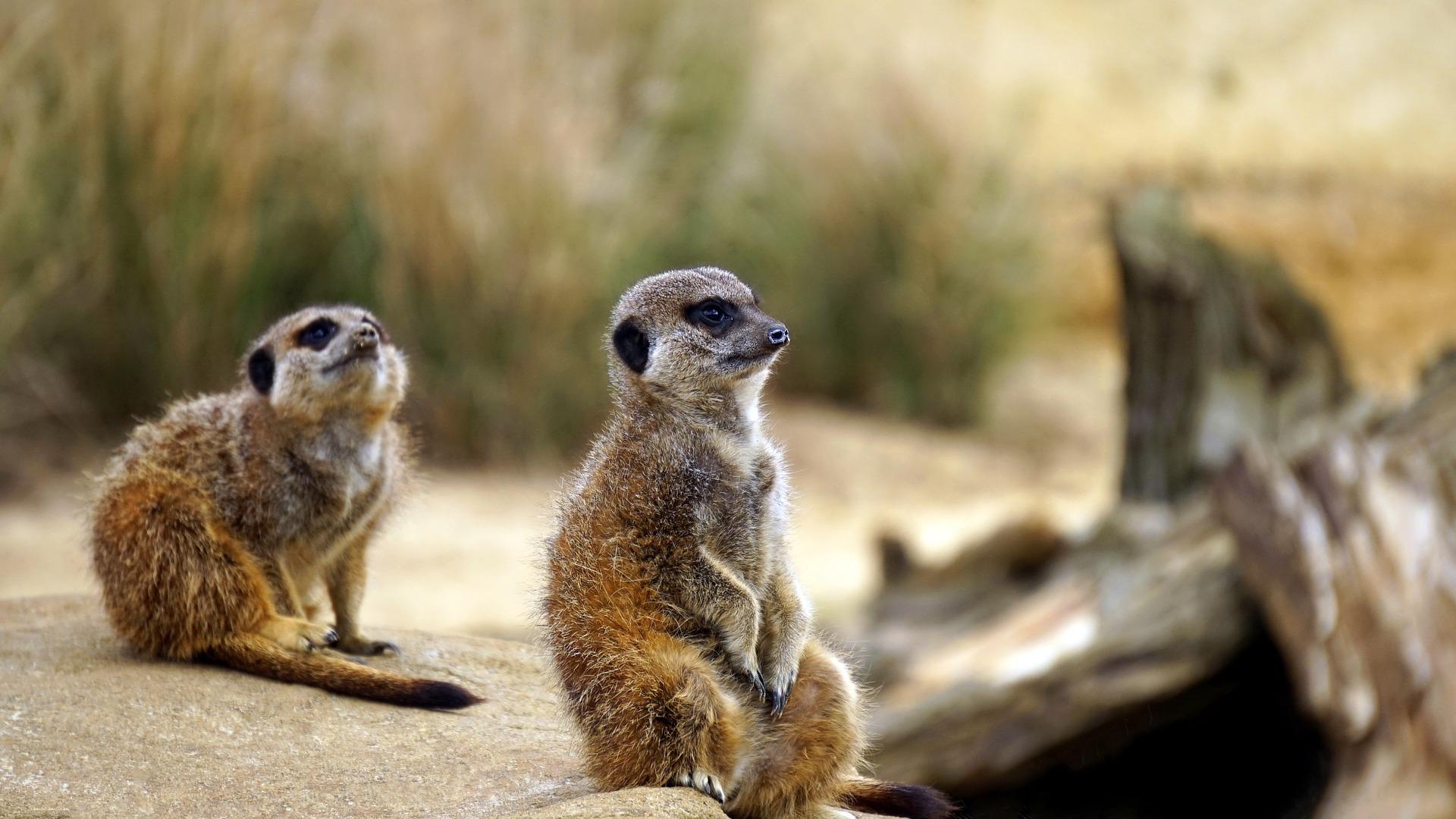 Meerkat, vie sauvage, liberté, faune, L'Afrique, désert - Fonds d'écran HD - Professor-falken.com