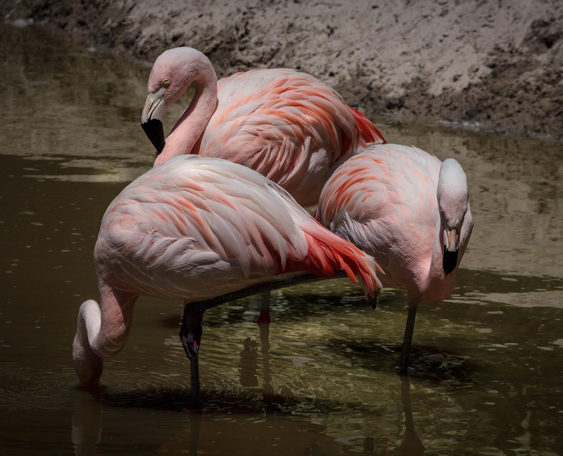 Фламинго, болота, Лагуна, воды, Роза - Обои HD - Профессор falken.com