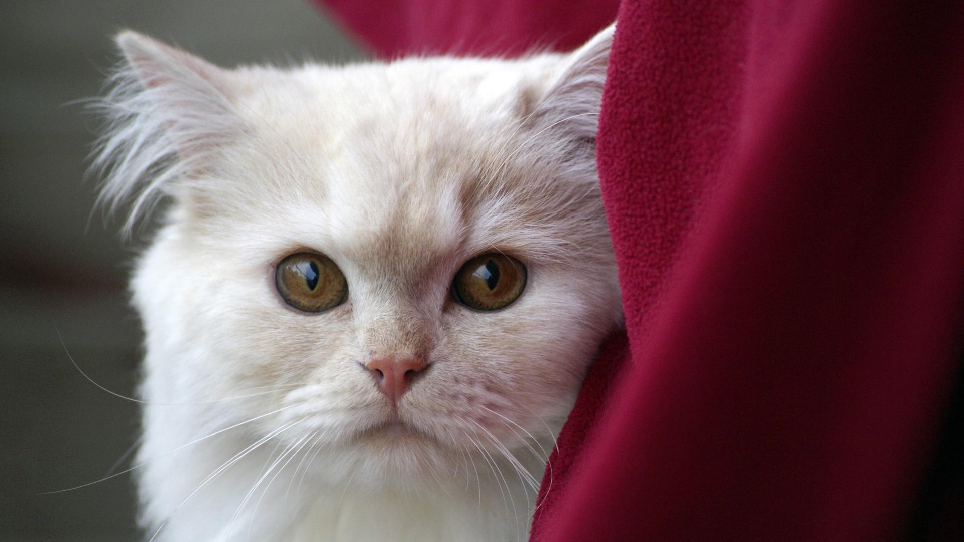 кошка, Домашнее животное, глаза, Смотреть, Белый - Обои HD - Профессор falken.com