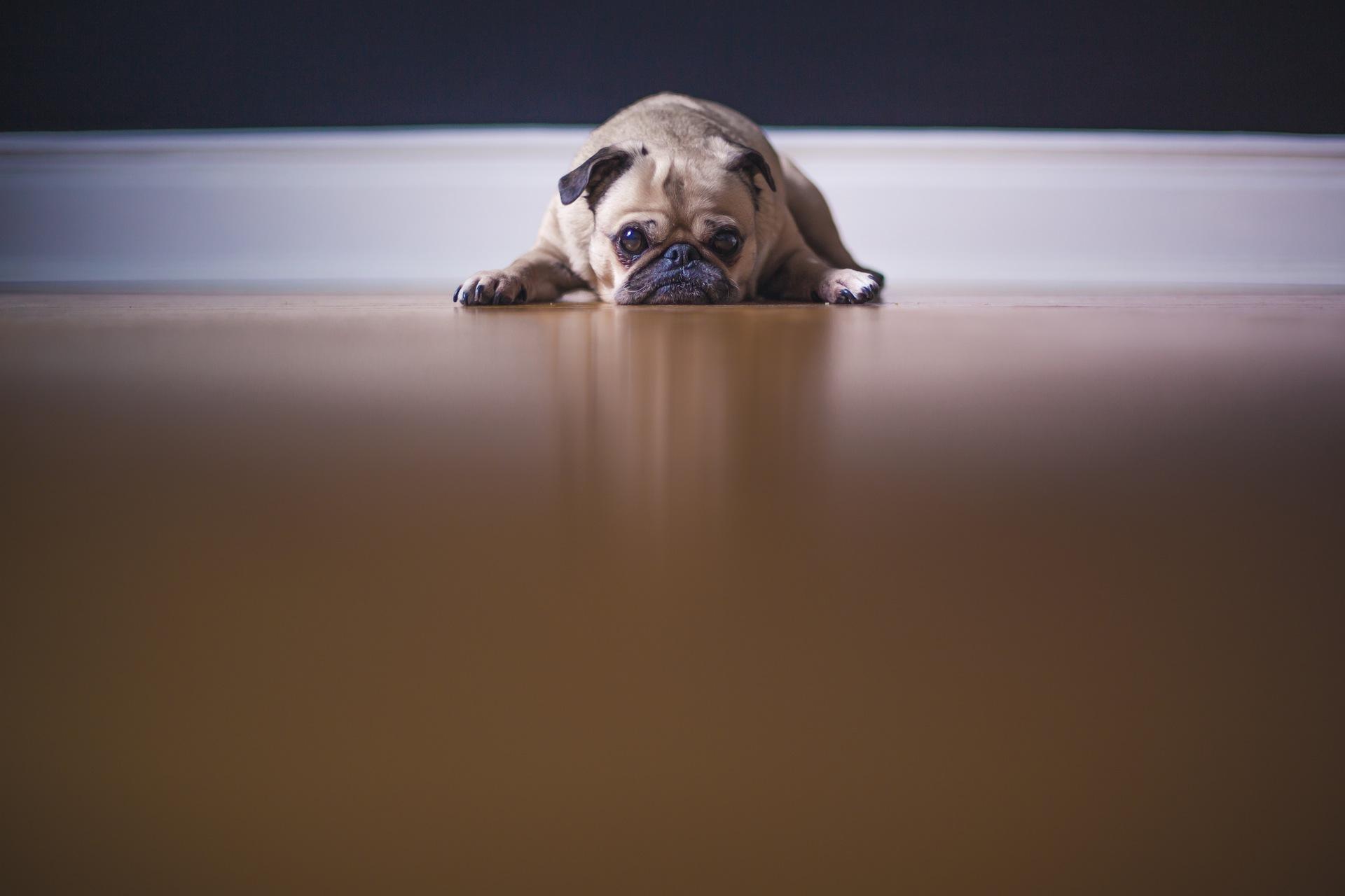 собака, Смотреть, устал, нежность, друг, Домашнее животное - Обои HD - Профессор falken.com