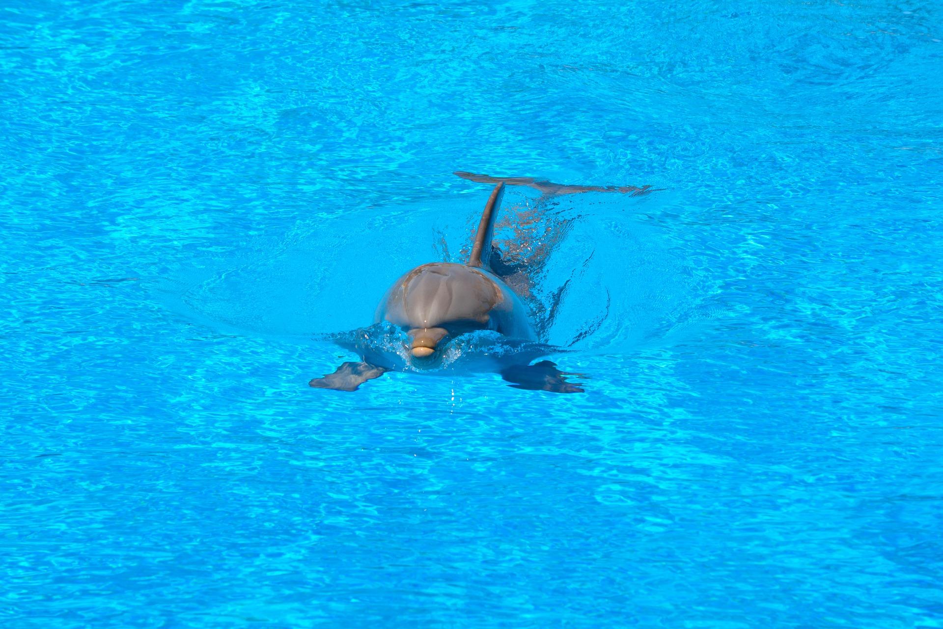 海豚, 游泳池, 水, 游泳, 蓝色 - 高清壁纸 - 教授-falken.com