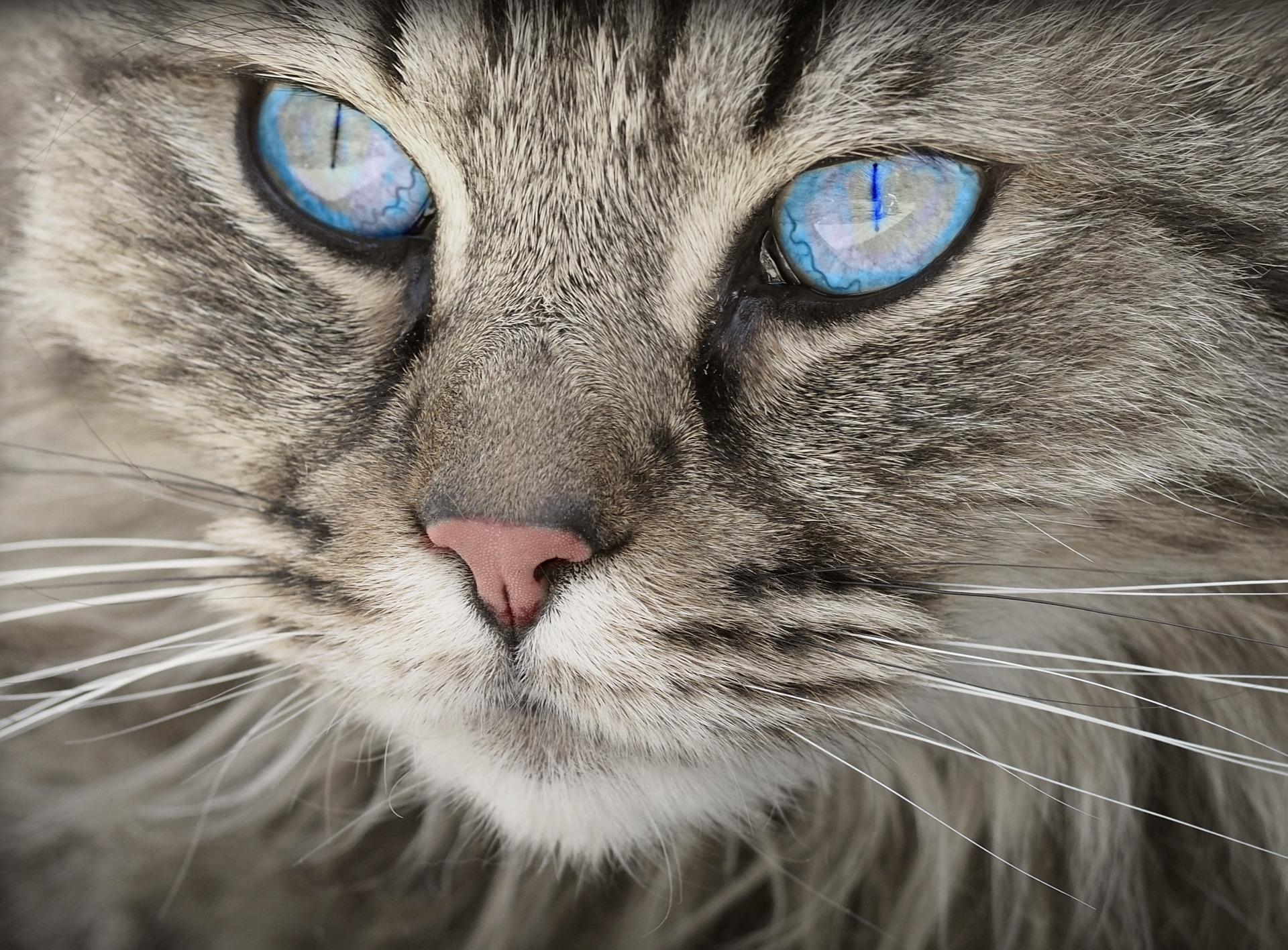 猫, ネコ科の動物, 顔, 目, ブルー, ペット - HD の壁紙 - 教授-falken.com