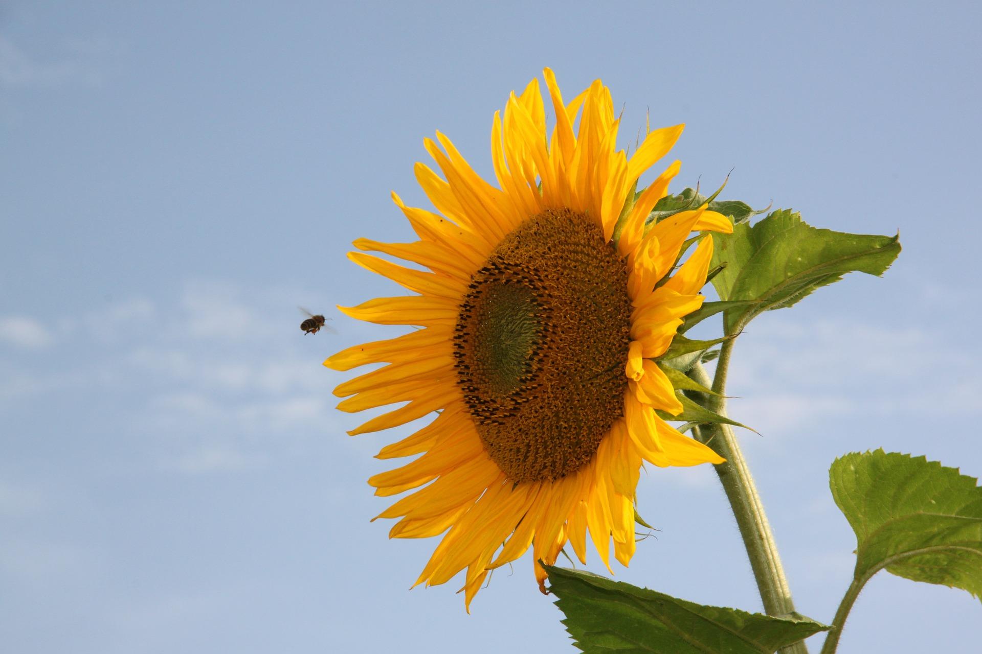 ひまわり, 蜂, 花粉, 夏, 空 - HD の壁紙 - 教授-falken.com