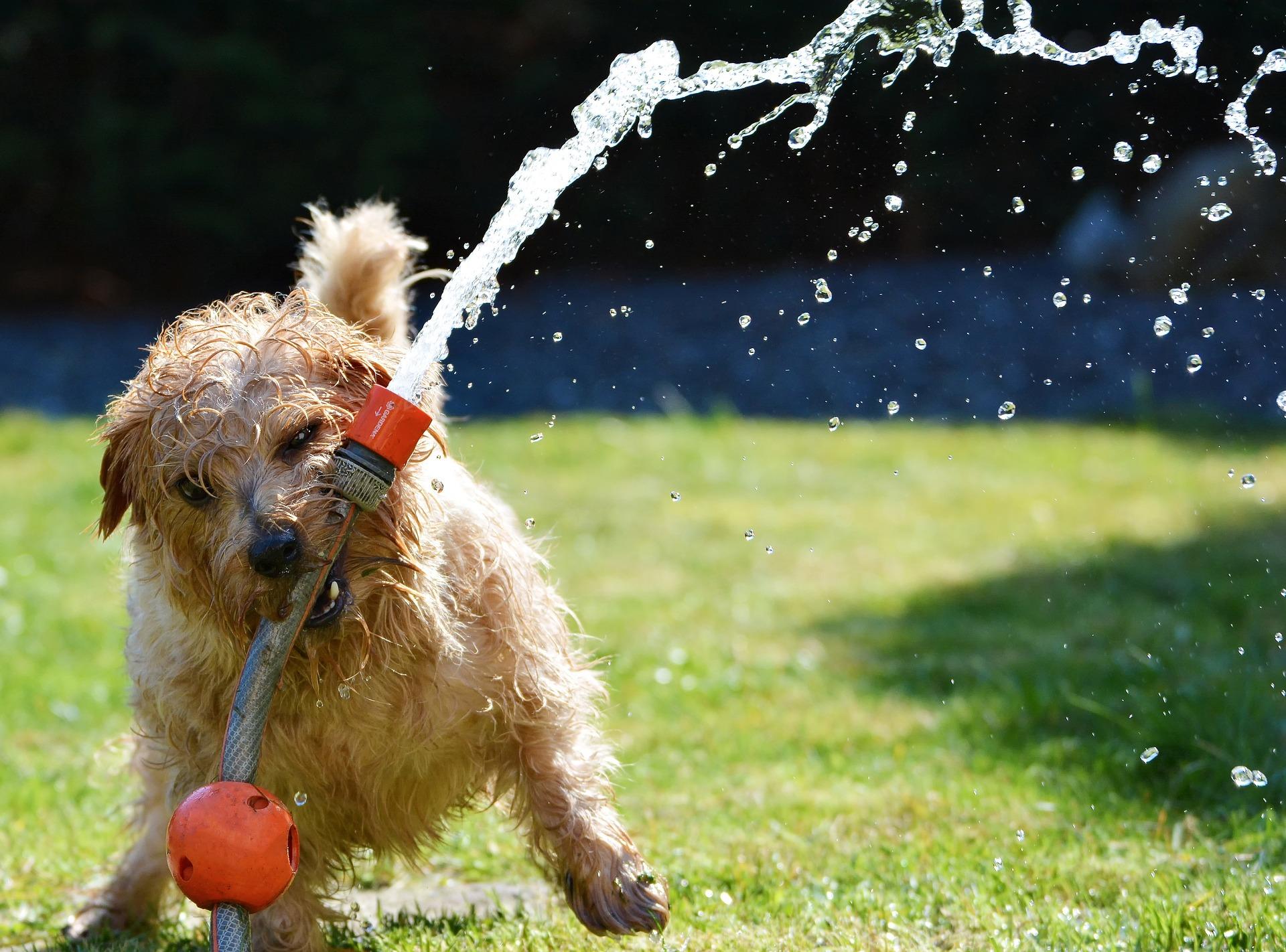 狗, 花园, 小猎犬, 乐趣, 软管 - 高清壁纸 - 教授-falken.com