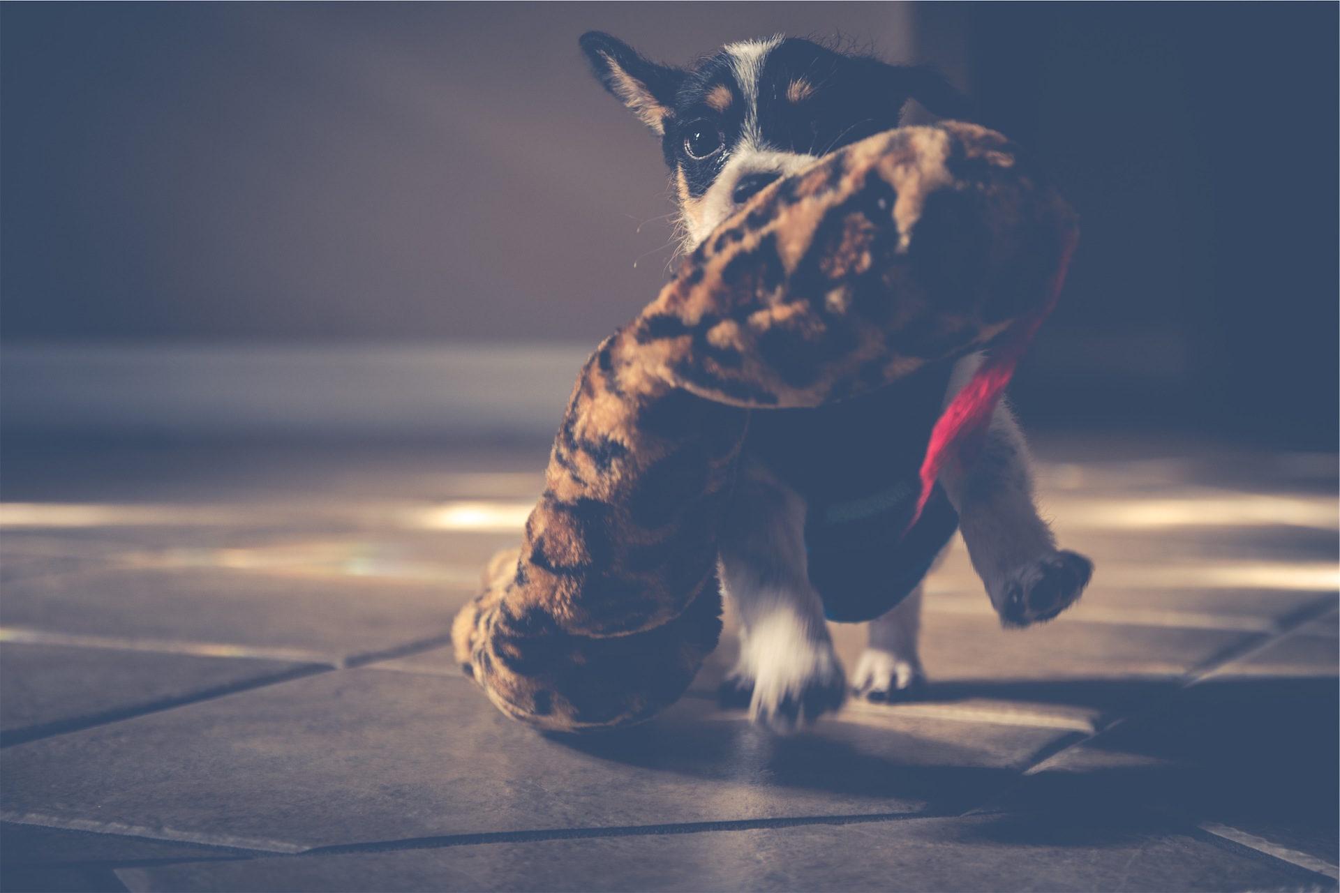 cão, Filhote de cachorro, Teddy, Mônada, jogo - Papéis de parede HD - Professor-falken.com