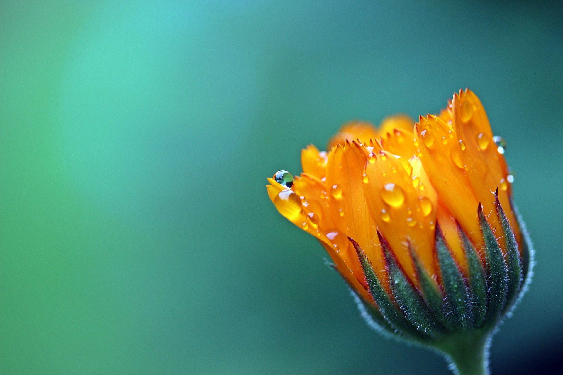 Calendula, fleur, Rocio, Orange, pétales - Fonds d'écran HD - Professor-falken.com