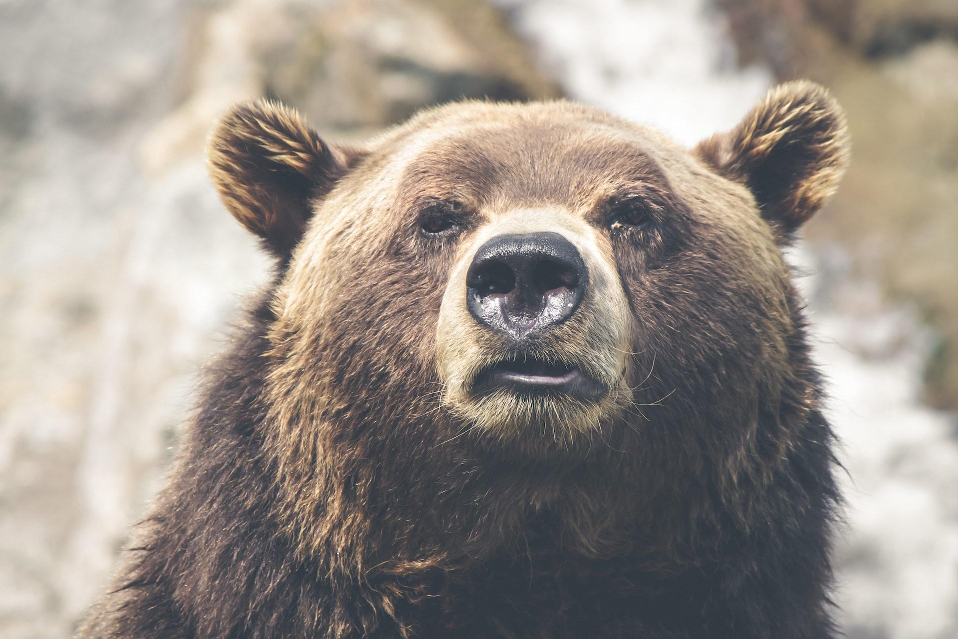 熊, 帕尔多, 看看, 鼻子, 野生 - 高清壁纸 - 教授-falken.com