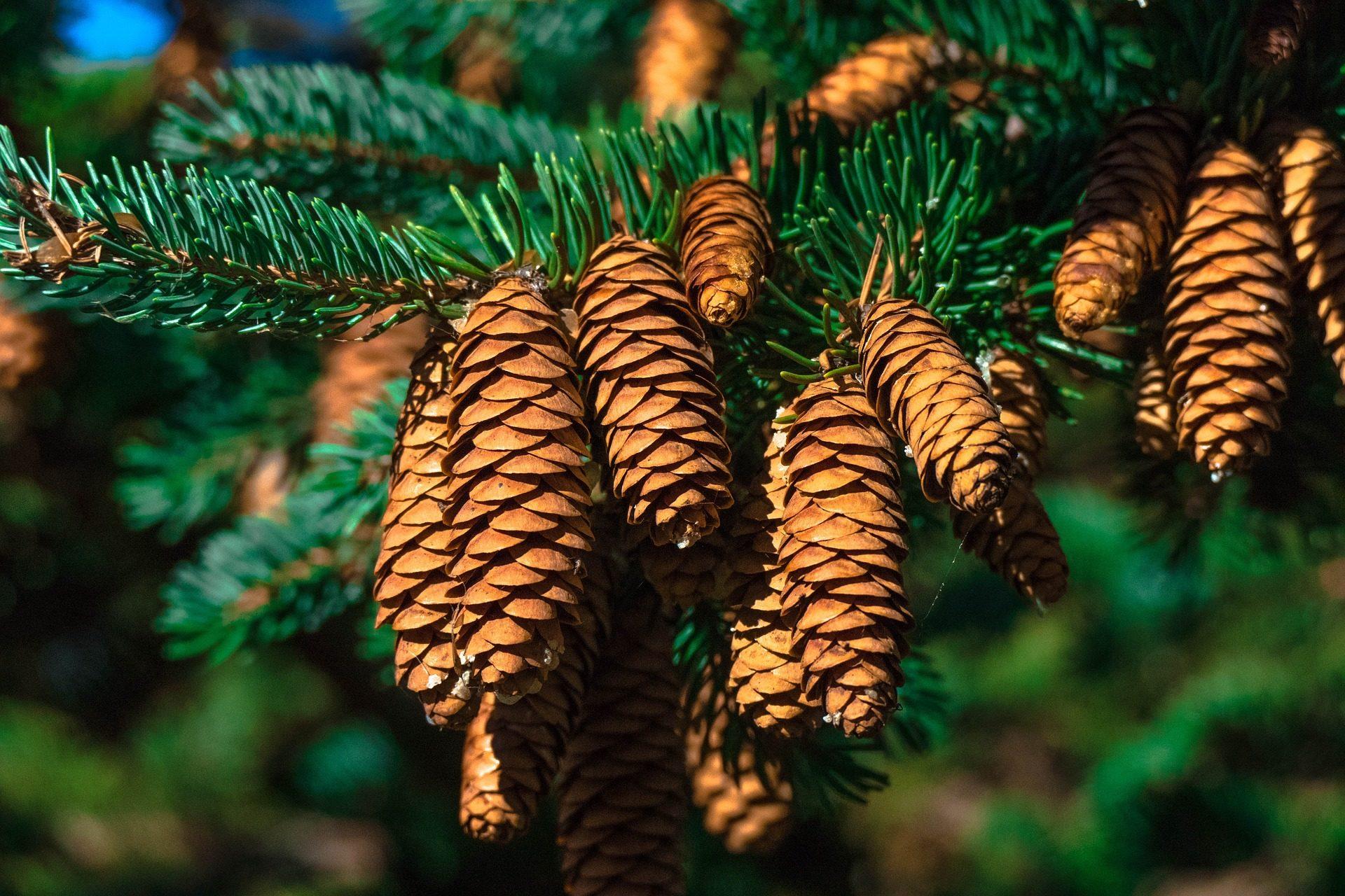 pinos, piñas, piñones, plantas, árboles - Fondos de Pantalla HD - professor-falken.com