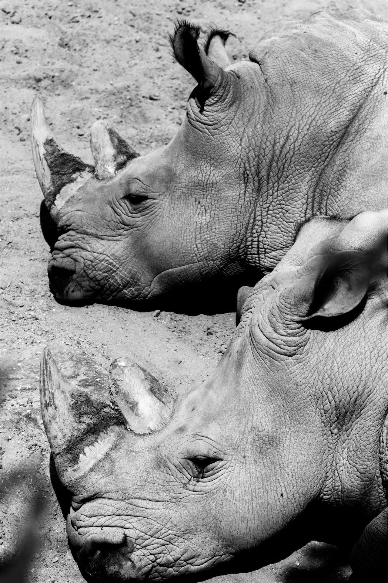 rhinocéros, couple, cors, Têtes de, en noir et blanc - Fonds d'écran HD - Professor-falken.com